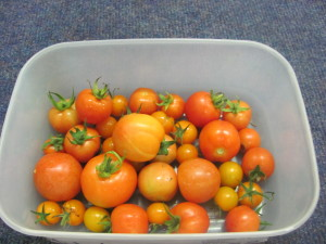 Ripened tomatoes.